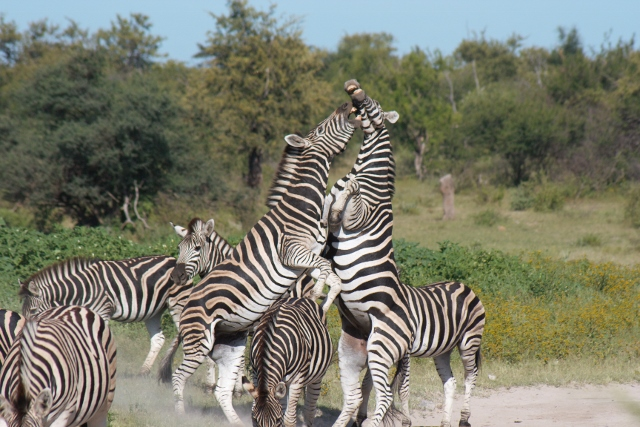 Herd of Zebra's with two males standing upright fighting for dominance