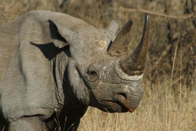 Black rhino against a bush setting