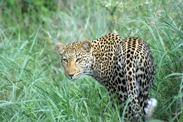 Leopard standing in green grass