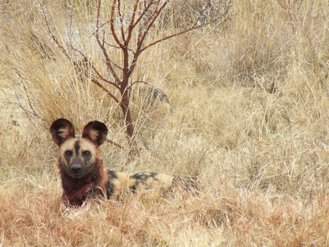 African painted dog lying alert in the veld