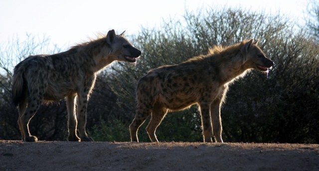 Two spotted hyena's in a natural African bush setting